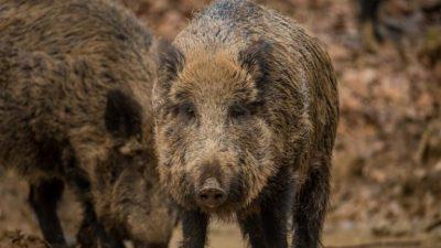 Vabe za divje svinje so na voljo v različnih vrstah